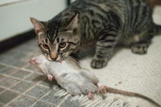 Как избавиться от крыс в доме или квартире