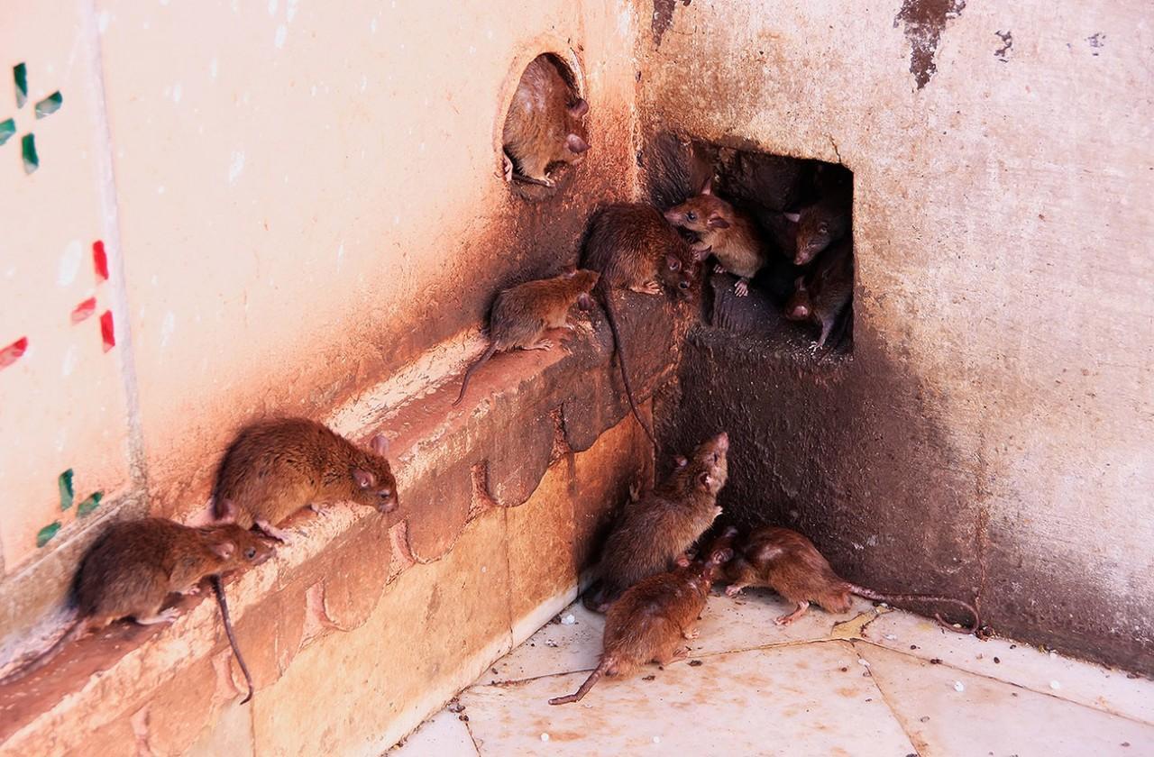 Как извести крыс в курятнике