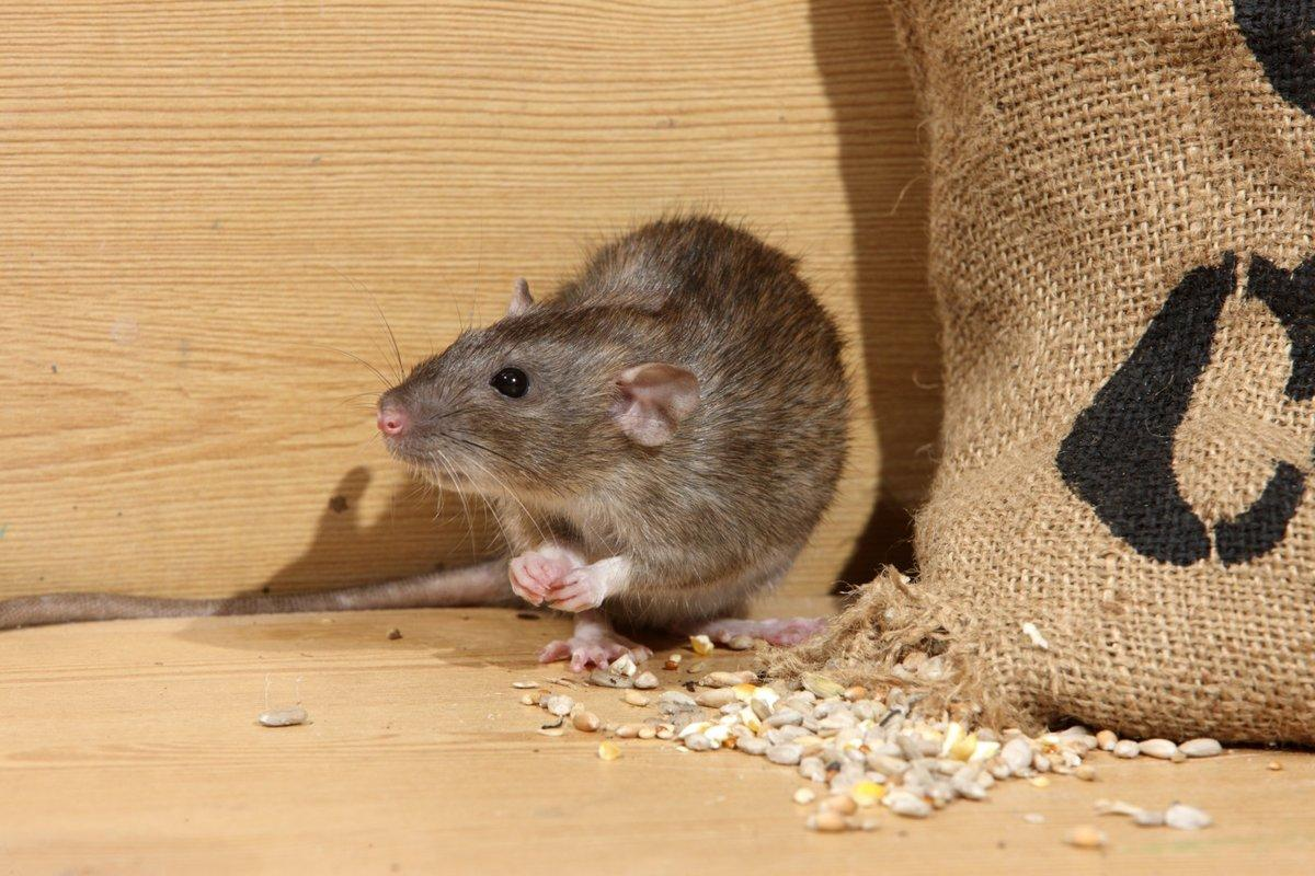 Как избавиться от мышей в квартире или доме