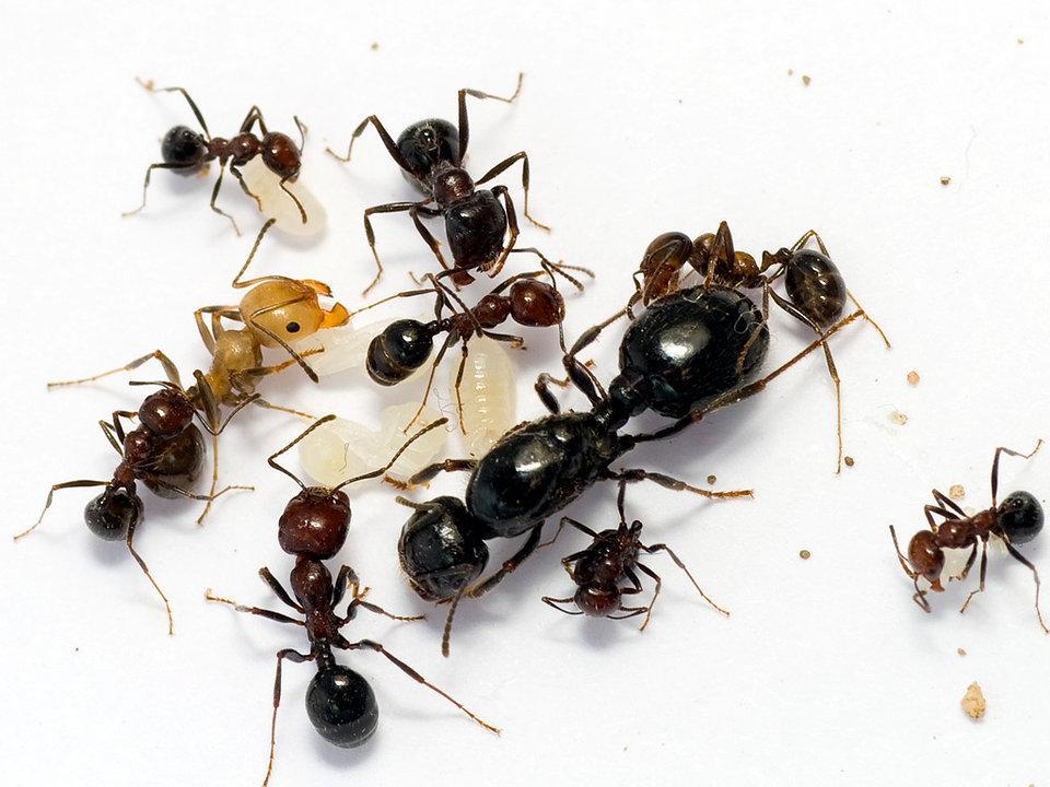 Мор для муравьев