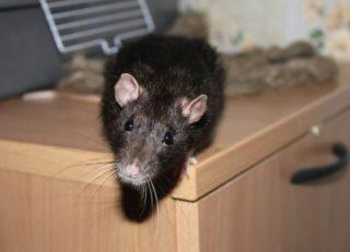 Как поймать хитрую крысу