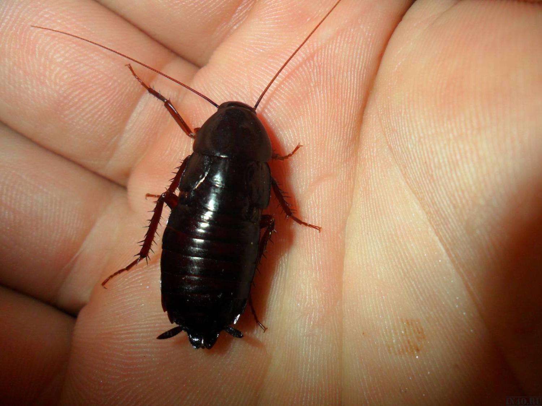 жуки похожие на тараканов фото одна разновидность тату