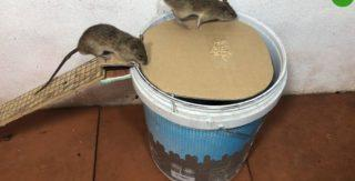 Как быстро поймать крысу