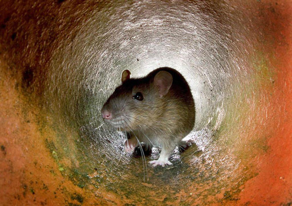 Крысы в многоквартирном доме - куда обращаться, как проводится дератизация
