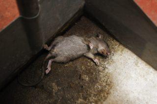 Как избавиться от крыс в частном доме, сарае или квартире готовыми или народными средствами?