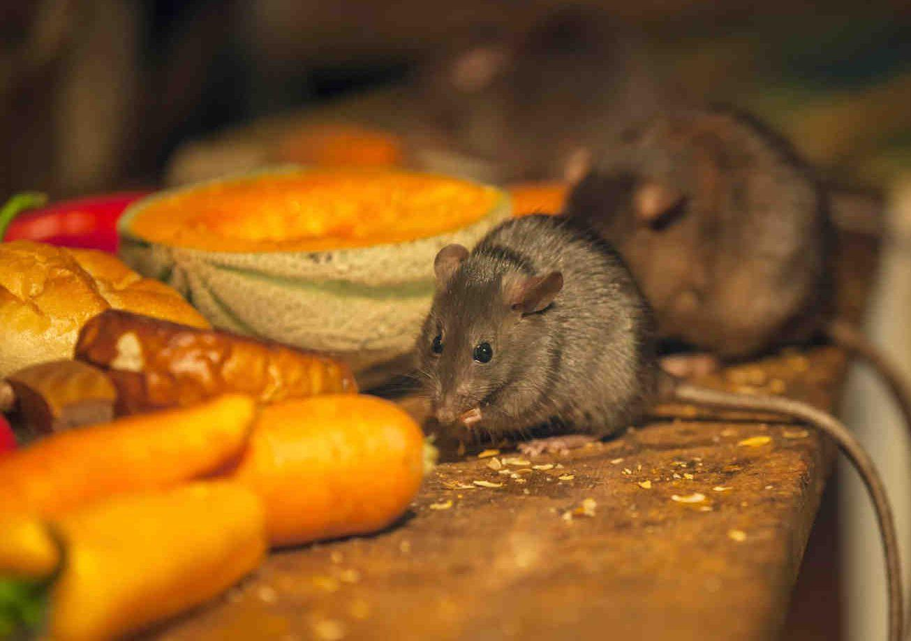 Какой запах не переносят крысы и мыши и как этим воспользоваться