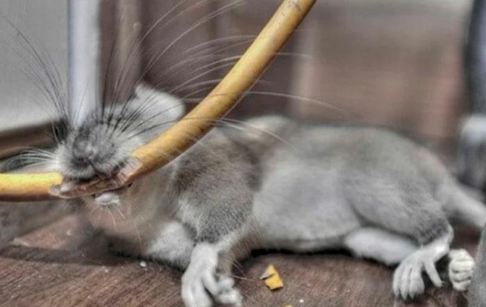 Как избавиться от крысиного запаха