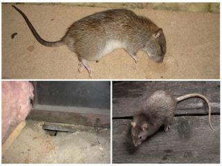 Сдохла мышь под полом: как избавиться от запаха