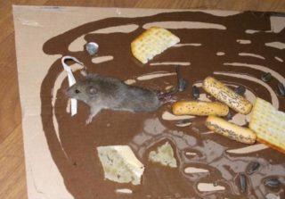 Лучший клей для ловли крыс