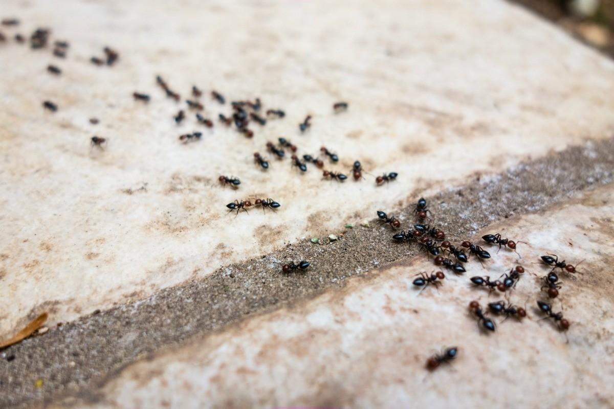 Нашатырный спирт от муравьев и тли на огороде